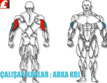 Cable Rope V-Bar Triceps Extension hangi kasları çalıştırır?